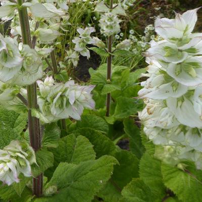 Salvia sclarea 'Vatican White' -