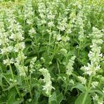 Salvia nemorosa 'Adrian' - Salie - Salvia nemorosa 'Adrian'