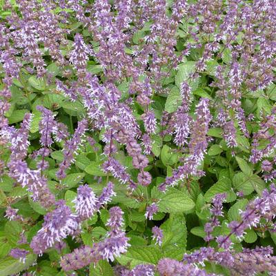 Salvia verticillata 'Hannays Blue' -