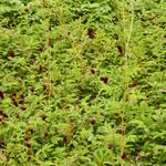 Sanguisorba 'Cangshan Cranberry' - Sanguisorba 'Cangshan Cranberry' - Pimpernel