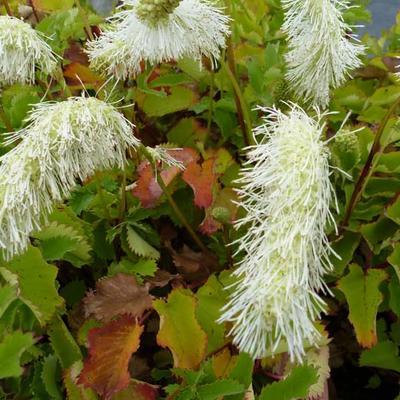 Sanguisorba tenuifolia var. alba -