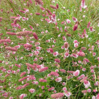 Sanguisorba officinalis ' Pink Tanna' -
