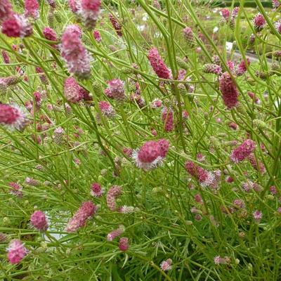 Sanguisorba tenuifolia 'Pink Elephant' -