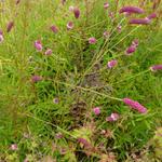 Sanguisorba tenuifolia var. purpurea - Pimpernel - Sanguisorba tenuifolia var. purpurea