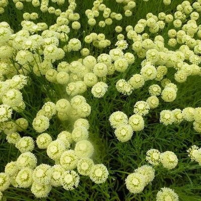 Santolina chamaecyparissus 'Edward Bowles'  -