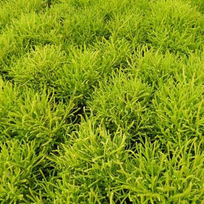Santolina chamaecyparissus 'Lemon Fizz' - Heiligenbloem,Cipressenkruid - Santolina chamaecyparissus 'Lemon Fizz'