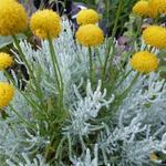 Santolina serratifolia - Santolina serratifolia - Heiligenbloem
