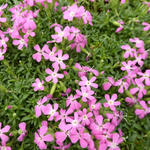 Saponaria 'Bressingham' - Zeepkruid - Saponaria 'Bressingham'