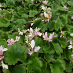 Saxifraga cortusifolia 'Cheap Confections' - Steenbreek