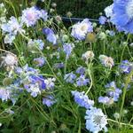 Duifkruid - Scabiosa caucasica 'Clive Greaves'