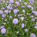Scabiosa columbaria 'Butterfly Blue' - Duifkruid - Scabiosa columbaria 'Butterfly Blue'