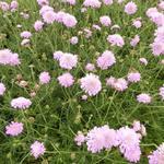 Scabiosa columbaria 'Pink Mist' - Duifkruid / Schurftkruid - Scabiosa columbaria 'Pink Mist'