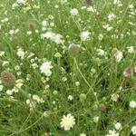 Scabiosa ochroleuca - Duifkruid/Schurftkruid - Scabiosa ochroleuca