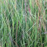 Schizachyrium scoparium  - Klein prairiegras - Schizachyrium scoparium
