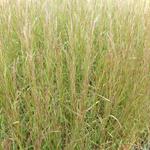Kleine prairiegras - Schizachyrium scoparium 'Cairo'