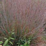 Schizachyrium scoparium 'Standing Ovation' - Klein prairiegras - Schizachyrium scoparium 'Standing Ovation'