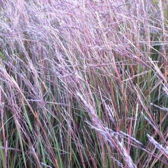 Schizachyrium scoparium 'Wildwest'