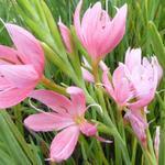 Kafferlelie - Hesperantha coccinea 'Mrs Hegarty'