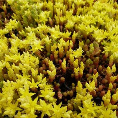 Sedum acre 'Yellow Queen' - Muurpeper - Sedum acre 'Yellow Queen'