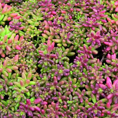 Sedum album 'Coral Carpet' - Witte muurpeper - Sedum album 'Coral Carpet'