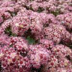 Sedum 'Strawberries and Cream' - Vetkruid