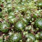 Sempervivum arachnoideum - Sempervivum arachnoideum - Spinnenwebhuislook