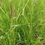 Sesleria autumnalis - Blauwgras - Sesleria autumnalis