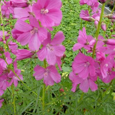 Sidalceae 'Oberon' -