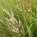 Goudbaardgras - Sorghastrum nutans