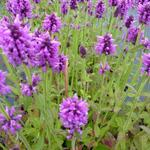 Stachys officinalis - Andoorn - Stachys officinalis