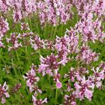 Stachys officinalis 'Pink Cotton Candy' - Andoorn