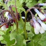 Smeerwortel - Symphytum grandiflorum 'Hidcote Blue'