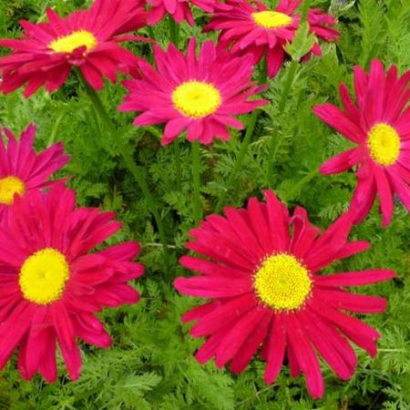 Tanacetum coccineum 'Robinson's Red'