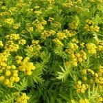 Tanacetum vulgare 'Isla Gold' - Boerewormkruid / Reinvaren / Wormkruid - Tanacetum vulgare 'Isla Gold'