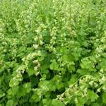 Tellima grandiflora - Mijterloof - Tellima grandiflora