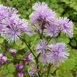 Ruit - Thalictrum actaeifolium 'Perfume Star'