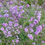Thalictrum delavayi 'Hewitt's Double' - Chinese ruit