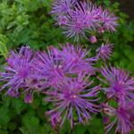 Thalictrum 'Black Stockings' - Ruit - Thalictrum 'Black Stockings'