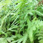 Thelypteris palustris - Moerasvaren - Thelypteris palustris