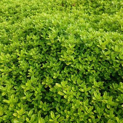 Thymus x citriodorus 'Aureus' -
