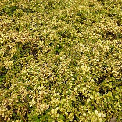Thymus x citriodorus 'Bertram Anderson' -