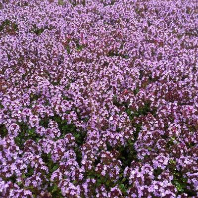 Thymus 'Doone Valley' -