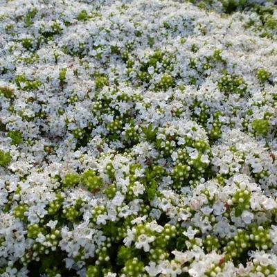 Thymus praecox 'Albiflorus' -