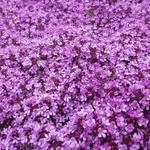 Thymus praecox 'Bressingham' - Kruiptijm - Thymus praecox 'Bressingham'