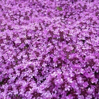 Thymus praecox 'Bressingham' -