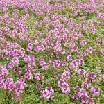Kruiptijm - Thymus praecox 'Coccineus'