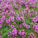 Thymus praecox 'Purple Beauty'  - Kruiptijm - Thymus praecox 'Purple Beauty'
