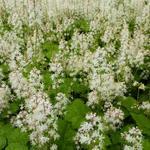 Schuimbloem/Perzische muts - Tiarella cordifolia