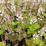 Tiarella cordifolia 'Tiger Stripe' - Schuimbloem/Perzische muts - Tiarella cordifolia 'Tiger Stripe'