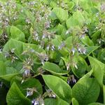 Trachystemon orientalis - Oriëntaals komkommerkruid - Trachystemon orientalis